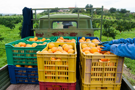 Colored fruit boxes full of navel oranges in an citrus grove during harvest season in Sicily Stock Photo