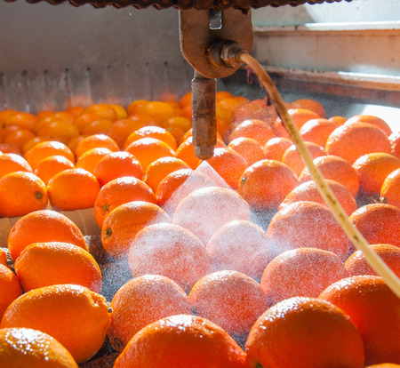 Tarocco oranges in the carriage during the waxing process