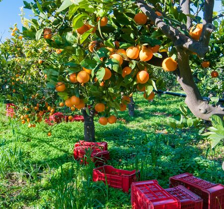 View of some tarocco oranges on tree during harvest time in Sicily