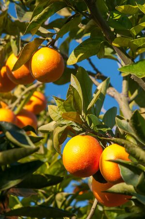 Tarocco oranges on tree against a blue sky during harvest season Stock Photo
