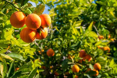 Tarocco oranges on tree during harvest season