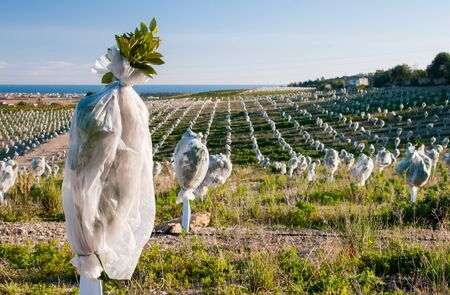Young orange trees covered with an anti hail protection Standard-Bild