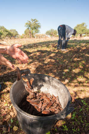 Carob pickers at work in the province of Ragusa, Sicily 版權商用圖片