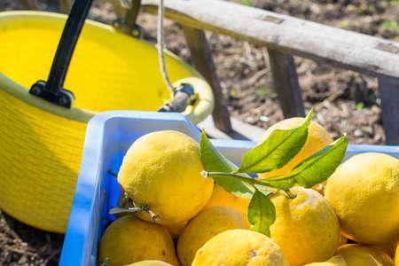 Just picked lemons on a blue box during harvest season 版權商用圖片
