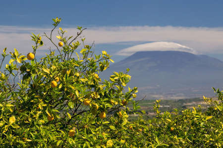 View of some orange trees in a sicilian citrus grove, mount Etna in the background
