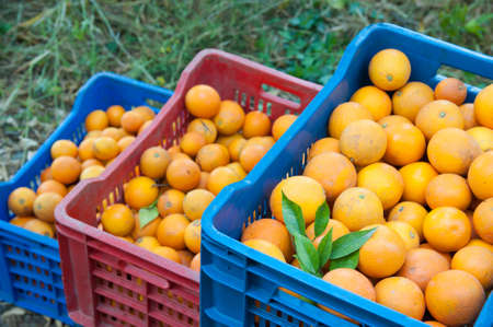 View of oval orange fruits on boxes during harvest time in Sicily