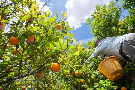 Trees of oval orange fruits during harvest time