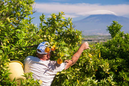 Orange pickers at work in Sicily, mount Etna in the background