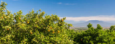 Panoramic view of some orange trees in a sicilian citrus grove, mount Etna in the background