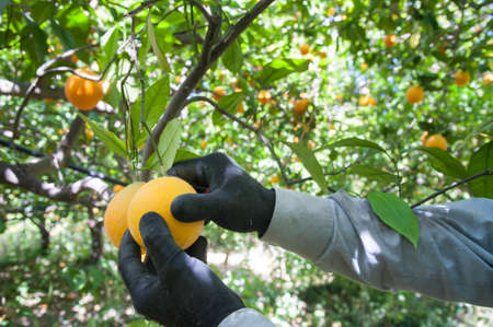 Hands of a farmer picking oval orange fruits with leaves during harvest time in Sicily 版權商用圖片