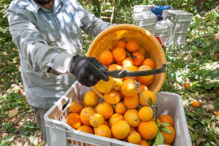 Orange picker at work unloading a basket full of oranges in a bigger fruit box during harvest season in Sicily