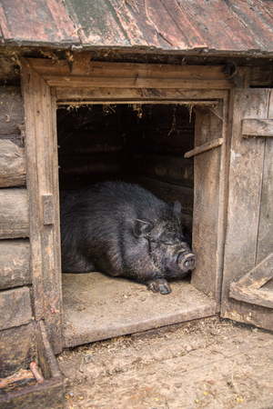 potbellied: Pot-bellied pig is in the barn. Visible to head Stock Photo