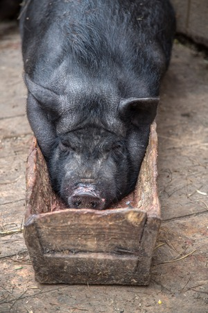 potbellied: Pot-bellied pig lies in the trough on the farm Stock Photo