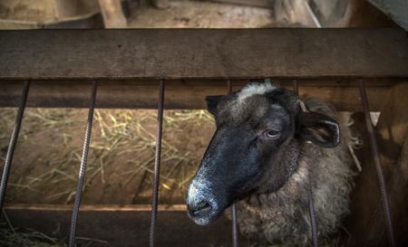 sheep in the sheep barn looking at the camera