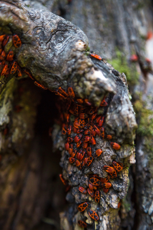 firebug: Firebug red insect colony on tree trunk bark. Nature macro.