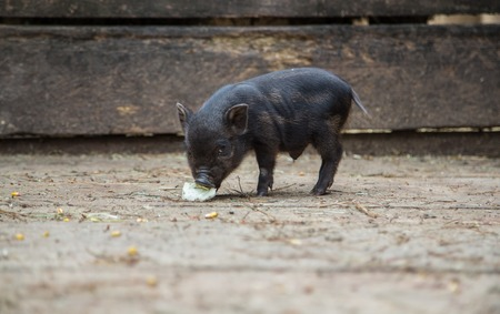 pigpen: Curious little piglet on a farm looking at the camera