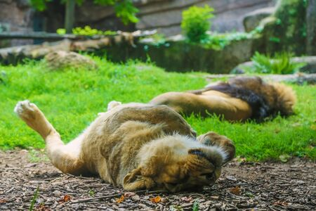 aviary: Family of lions sleeping in the aviary. Lioness in the foreground in focus, the lion in the background is blurred.