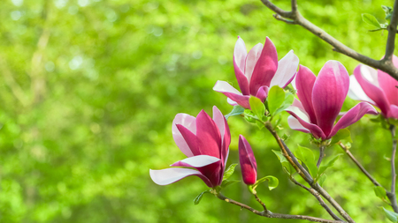 tree detail: Opened flower purple magnolia growing on a tree among branches. Out of close up on blurred background in spring sunny day. Spring, seasons, time of year. Soft focus background. Stock Photo