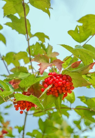 Some ripe viburnum on branch against the leaves