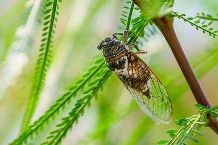 Cicada insect. Cicada standing on a branch. Cicada Macro. Cicada sits on a branch in natural habitat 스톡 콘텐츠