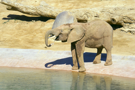 Elephant is drinking water at the watering hole in a safari park. Young elephant at the zoo.
