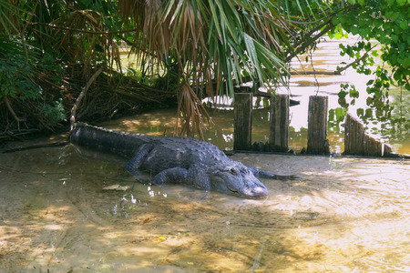 American alligator is getting out from the water. Alligator is a large crocodile in the water. American Alligator - Alligator mississippiensis.