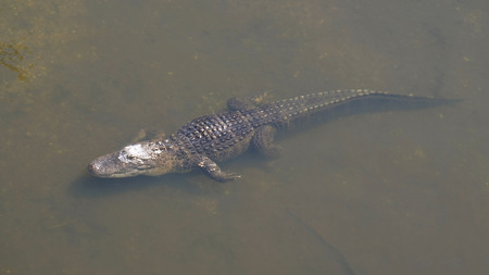 Alligator is a large crocodile in the water. Single crocodile floating in water. American Alligator - Alligator mississippiensis. Alligators in a swamp in Florida. Banque d'images