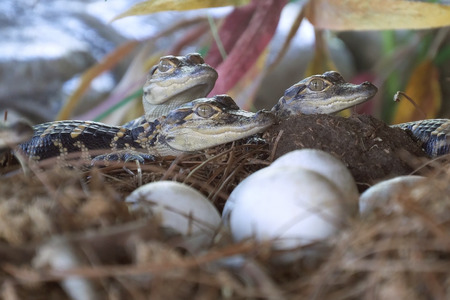 Alligator hatchlings emerge. Newborn alligator near the egg laying in the nest. Little baby crocodiles are hatching from eggs. Baby alligator just hatched from egg. Banque d'images