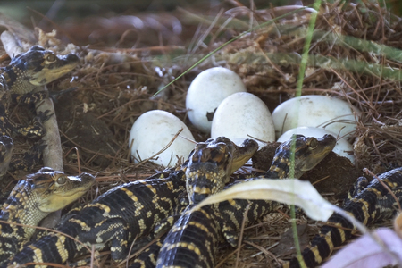 Newborn alligator near the egg laying in the nest. Little baby crocodiles are hatching from eggs. Baby alligator just hatched from egg. Alligator hatchlings emerge. Banque d'images