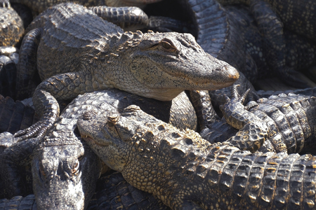 Alligators crouch along one another and are interwoven with bodies. Aligators breeding farm in the Florida. Crocodiles are basking in the sun on a crocodile farm.