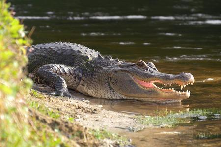 L'alligatore sulla riva del lago si trova vicino all'acqua con la bocca aperta in un habitat naturale. Alligatore posa vicino a uno stagno con la bocca aperta. Alligatore a terra. Archivio Fotografico