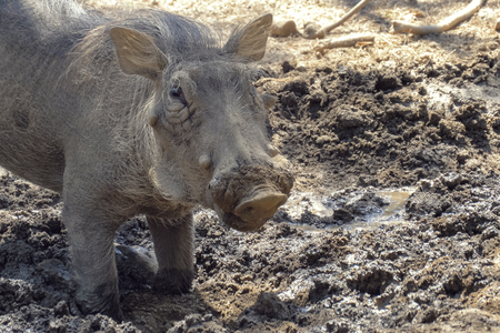 Warthog using nose to dig in african savannah. Warthog feeds on its knees and uses its tusks to dig the ground. Close up portrait.