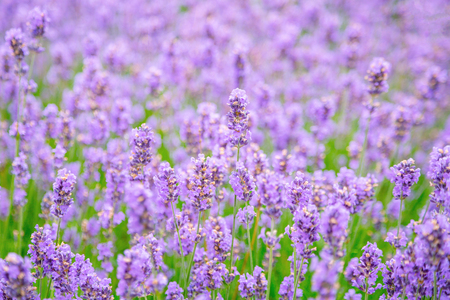 Lavender flower on the field. Close up of lavender flower over blurred background. Soft and blur style for background. Shallow depth of field