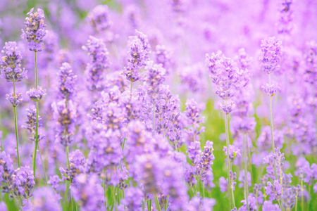 Lavender field at summer sunset. Close up of lavender flower over blurred background. Soft and blur style for background. Photo with very shallow depth of field