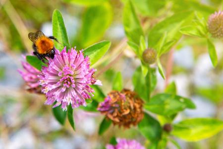 Bumblebee on hop flower,close up. Details of a bumblebee on a wild flowers. Bumble bee collecting pollen on pink flower. Closeup of garden bumblebee.