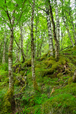 Arctic forest, Norway. Gnarled dwarf birches and fern. Thick wild forest in Norway in the summer. The trees are covered in moss.