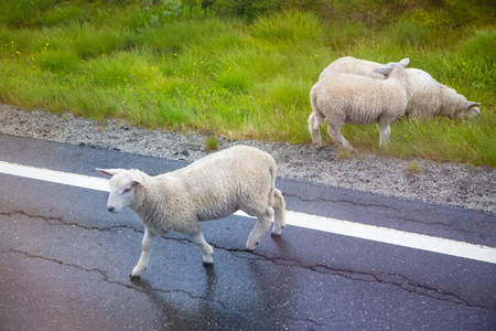 Sheep crossing an asphalt road, close-up. Sheep walking along road. Sheep grazing on pasture and crossing asphalt road, view from above. Banco de Imagens