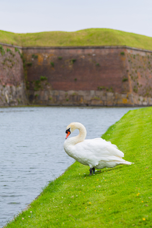Swan near the protective moat with water around the castle. Swan is a migratory bird near a reservoir in Europe. Swan is resting near the pond. Banco de Imagens