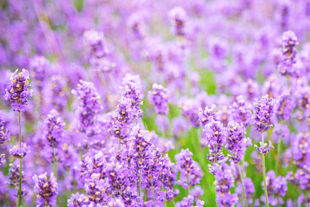 Lavender field at summer sunset. Close up of lavender flower over blurred background. Soft and blur style for background. Lavender flower on the field. Shallow depth of field