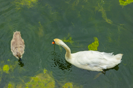 Swan family - top view. Female swan and its young, a walk in family. Mother and baby swan eat in lake. Mom swan with his baby on the water.