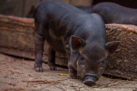 Black mini pig of the Vietnamese breed on sty. Curious little piglet on a farm looking at the camera. Cute little black piglet. Black mini piglet eating. Curious Pet baby pig. Stock Photo