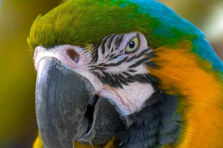 Close up Blue and gold macaw parrot head. Exotic colorful African macaw parrot, beautiful close up on bird face over natural green blurred soft background. 스톡 콘텐츠