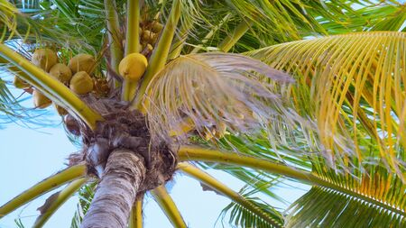 Palm tree with ripe coconuts sways in the wind, close-up view from the bottom. Close up bottom view of a coconut bunch on an palm tree. Leaves of coconut palms fluttering in the wind against blue sky.