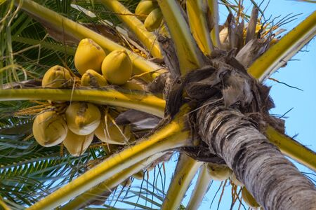 Palm tree with ripe coconuts, close-up view from the bottom. Close up bottom view of a coconut bunch on an palm tree. Leaves of coconut palms against blue sky.