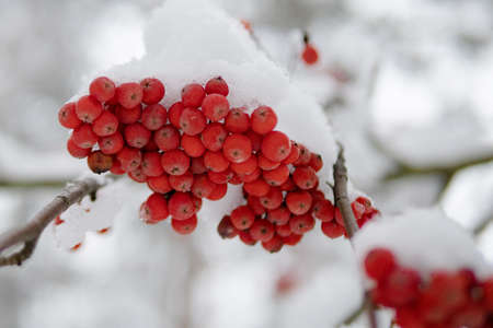 Winter ashberry under the snow close up. Groups of bright red berries, mountain ash. Red rowanberry under snow, background, mountain ash, hawthorn. Close up