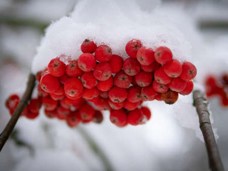Bunch of red mountain ash under the snow. Winter ashberry under the snow close up. Groups of bright red berries, mountain ash. Red rowanberry under snow, background, mountain ash, hawthorn. Close up