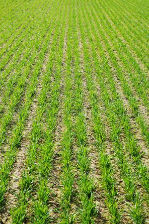 agronomy: green ,grain ,spring ,field ,agronomy ,farming, agriculture wheat Stock Photo