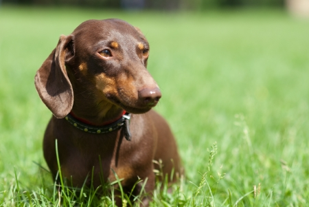 Dachshund dog walking on the green grass Stock Photo