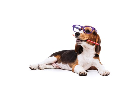 Funny little dog in glasses with pencil lying on white background Stock Photo
