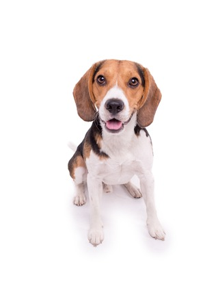 Portrait of nice little Beagle  in front of white background
